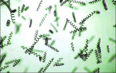 espirulina alga microscópica